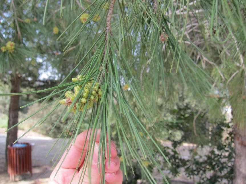 Pine trees around the vineyard