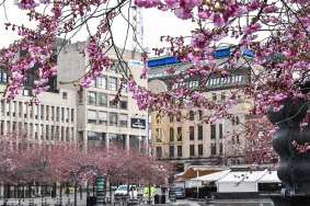 "The cherry tree garden right next to the ""Harrods"" of Stockholm, NK"