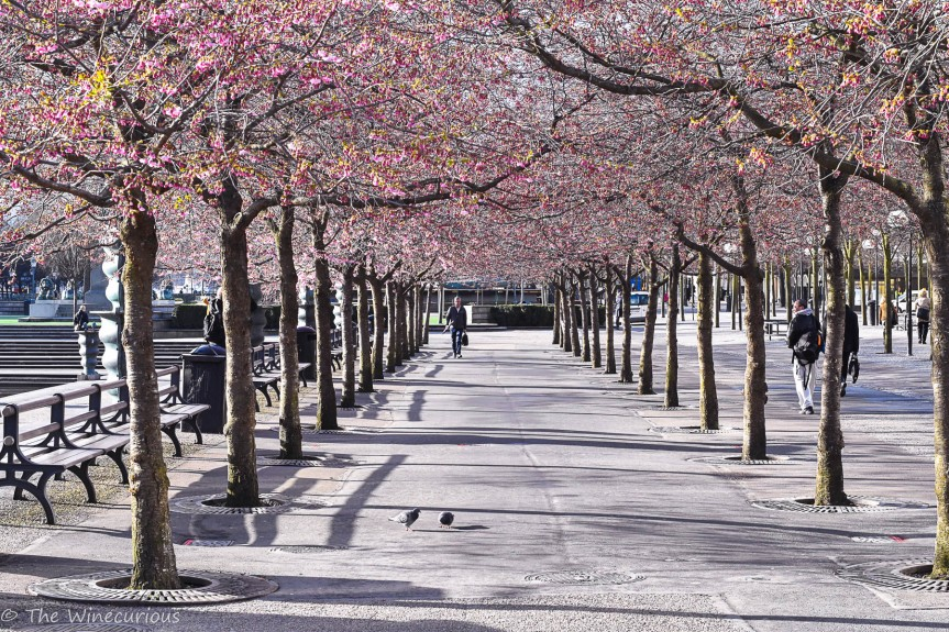 Wineweek 76: Cherry Blossoms and More Exploring in GamlaStan