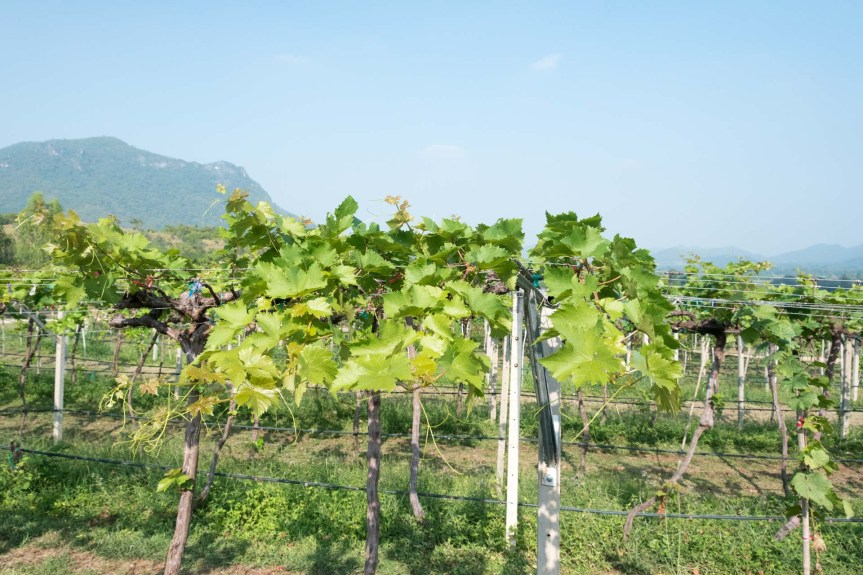 Visiting Monsoon Valley Vineyard in HuaHin